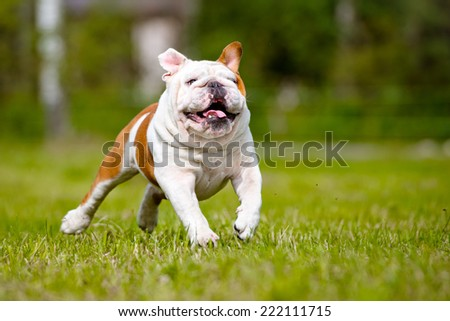 funny running english bulldog - stock photo