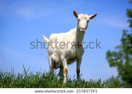 Funny rural goat on grassland - stock photo