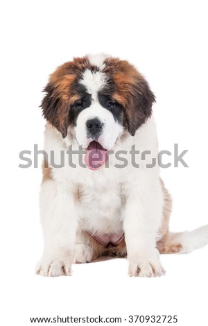 Funny saint bernard puppy sitting on white
