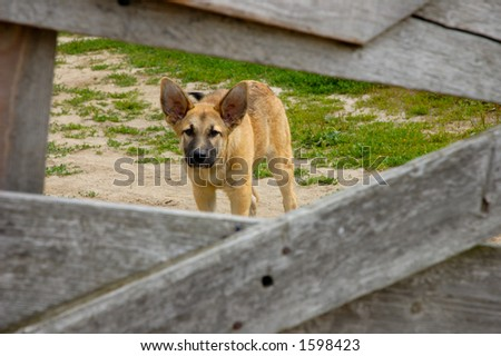 Funny scared little dog behind fence - stock photo