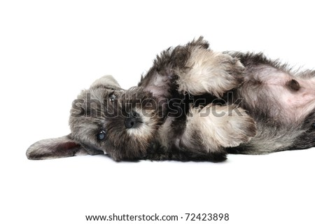 Funny schnauzer puppy  in studio on a white background