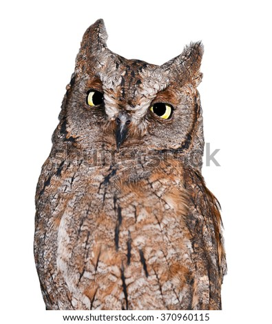 Funny scops owl isolated on white background/Scops owl/Scops owl isolated on white - stock photo