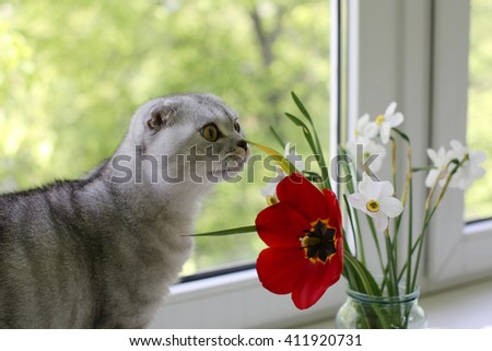 Funny Scottish Fold cat is smelling the spring flowers in front of the window. Selective focus  - stock photo