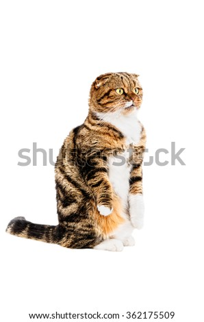 Funny Scottish Fold cat sitting isolated on white background - stock photo