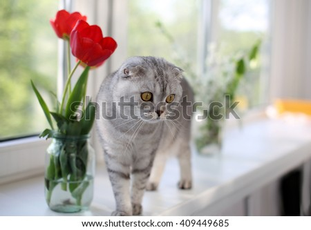Funny Scottish Fold cat standing next to flowers on the windowsill. Selective focus - stock photo