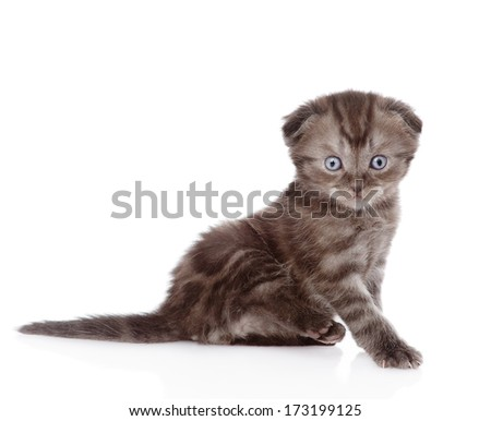 funny scottish kitten looking at camera. isolated on white background - stock photo