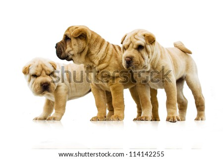 funny sharpei puppies isolated on white background - stock photo