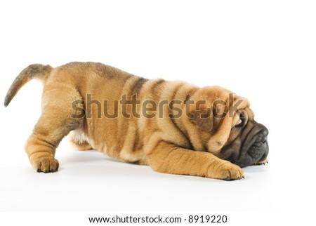 Funny sharpei puppy isolated on white background (studio shot) - stock photo