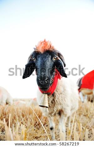 Funny sheep looking at you - stock photo