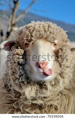 Funny sheep portrait - stock photo