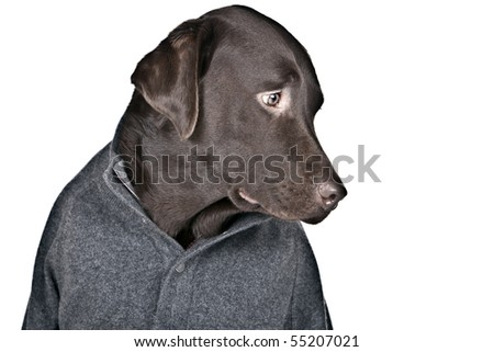 Funny Shot of a Shy Looking Labrador in Grey Jumper - stock photo
