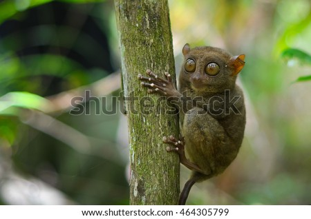 Funny sleepy tarsier sitting on a tree