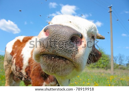 Funny small bull grazing in the field