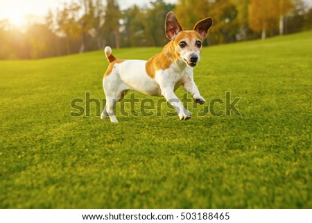 Funny small dog hurtling loped the green grass. Playful dancing active mood. Natural green background. Happy times.  series of photos