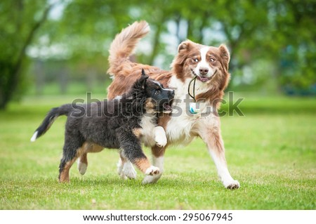 Funny smiling australian shepherd dog playing with a puppy - stock photo