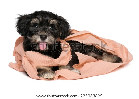 Funny smiling black and tan havanese puppy dog is playing with peach toilet paper and looking at camera, isolated on white background - stock photo