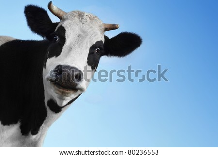 Funny smiling black and white cow on blue clear background - stock photo