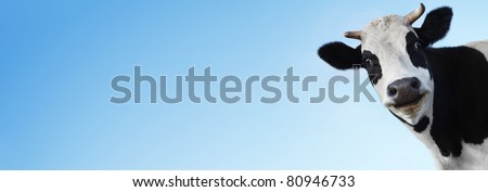 Funny smiling cow on blue background with copyspace - stock photo
