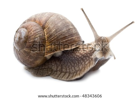 Funny snail isolated on white background - stock photo