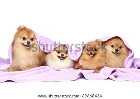 Funny Spitz puppies under a blanket on a white background - stock photo