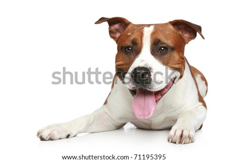 Funny Staffordshire terrier lying on a white background.