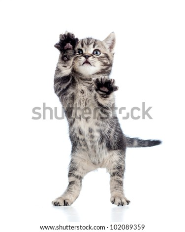 funny standing playful kitten isolated on white background - stock photo