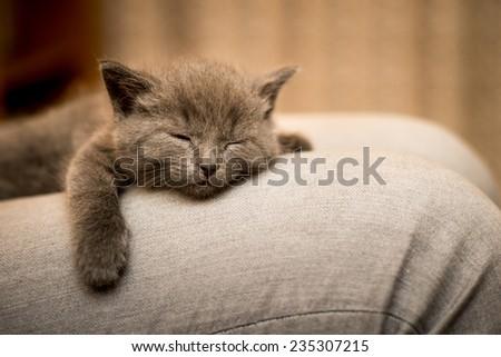 funny sweet little kitten, a Briton - stock photo
