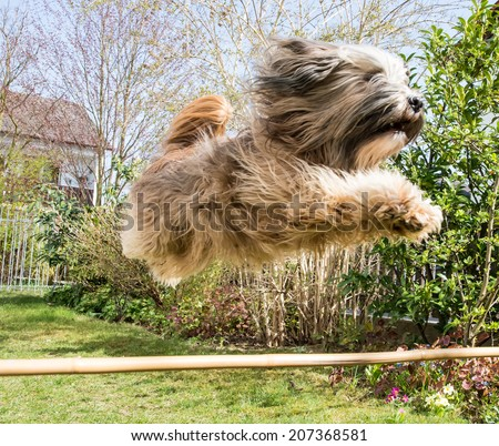 Funny tibetan terrier dog jumping over a hurdle - stock photo