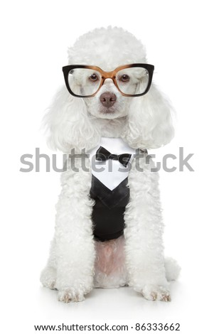 Funny Toy Poodle in a tuxedo and glasses on a white background