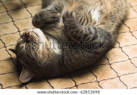 Funny tubby cat lying on it's back on the floor. - stock photo