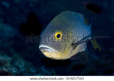 Funny view of head of curious unhappy Midnight Snapper (Macolor macularis) with big eyes near a tropical coral reef at Talumben on Bali in Indonesia looking at camera against a black background