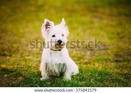 Funny West Highland White Terrier - Westie, Westy Dog Portrait - stock photo