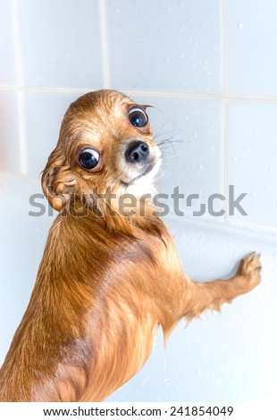 funny wet chihuahua dog standing in bath  - stock photo