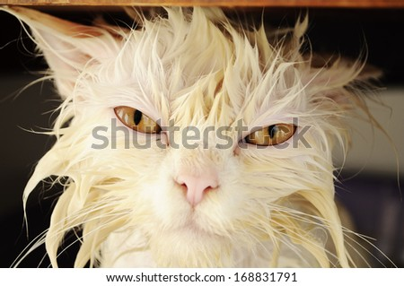 Funny wet white Persian kitten  - stock photo