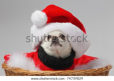 funny white chihuahua dog wearing santa hat