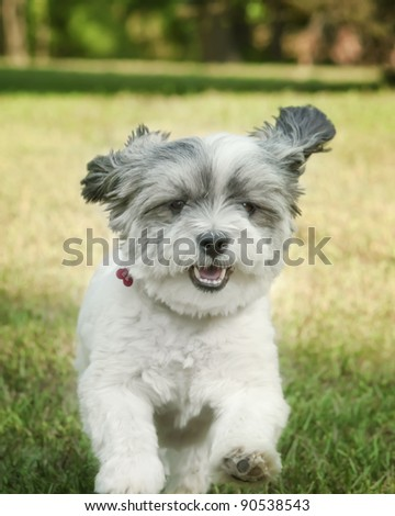 Funny white dog running in the yard - stock photo