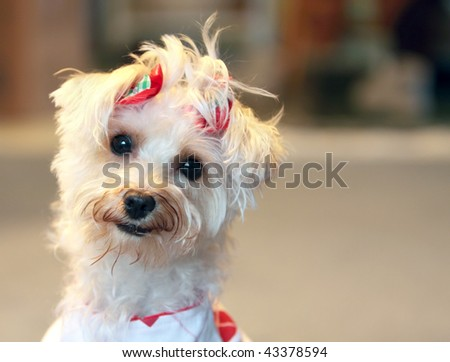 Funny white dog with quizzical expression wearing red bows in hair - stock photo