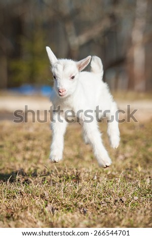 Funny white goatling playing outdoors