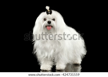 Funny White Maltese Dog Standing and Looking in Camera isolated on Black background - stock photo