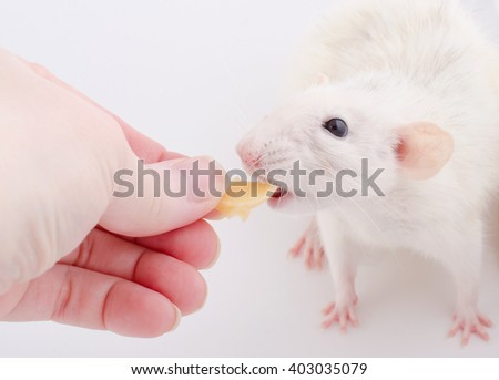 Funny white rat taking a piece of cheese from a human hand - stock photo