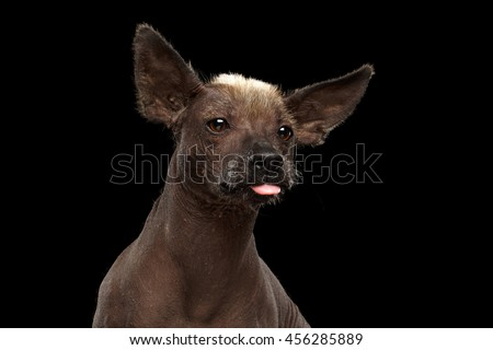 Funny Xoloitzcuintle - hairless mexican dog breed showing tongue, Closeup Studio portrait on Isolated Black background - stock photo