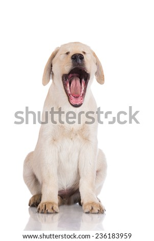 funny yawning puppy - stock photo
