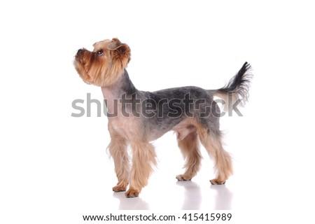 funny york dog in the studio - stock photo