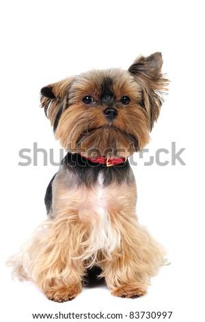 Funny yorkshire terrier in studio - stock photo