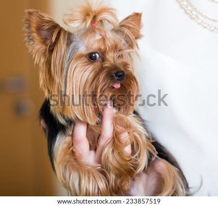 Funny Yorkshire Terrier on owner's hands at home