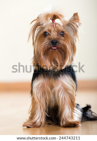 Funny Yorkshire Terrier sitting on laminated floor