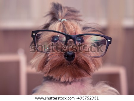 Funny Yorkshire Terrier with black glasses closeup