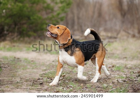 Funny young beagle dog running in spring - stock photo