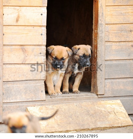 Funny young puppies belgian shepherd malinois  near  dog house