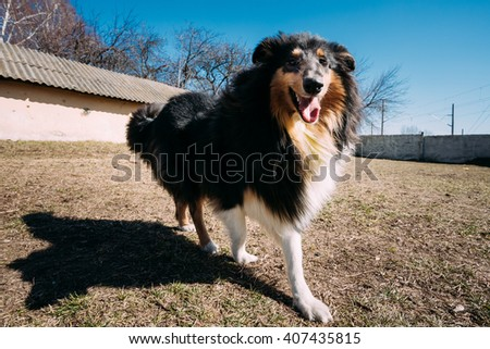 Funny Young Shetland Sheepdog, Sheltie, Collie Dog Play Outdoor. Wide Angel Photo - stock photo